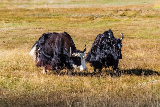 Two sarlyks domesticated yaks graze in autumn steppe koshagachsky district altai russia