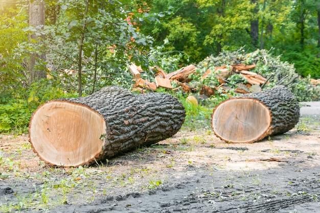Два распиленных ствола деревьев на опушке леса, вырубка.