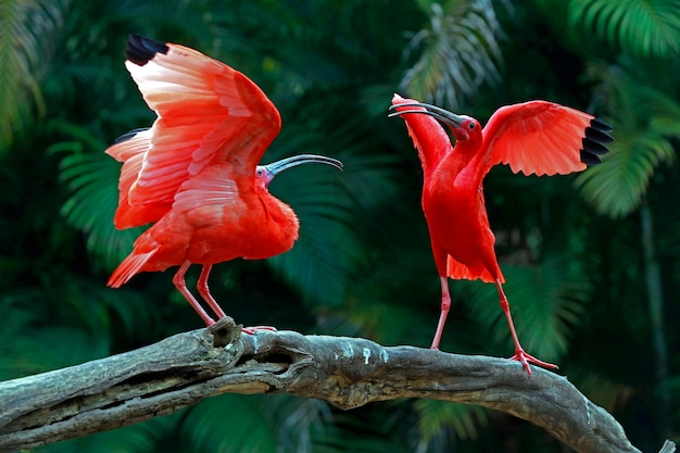 Two scarlet ibis vying for space on tree trunk