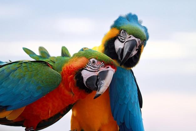 2つの緋色のコンゴウインコのクローズアップヘッド