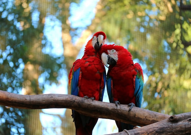 Two scarlet macaw perching together and preening its couple on the tree, brazil