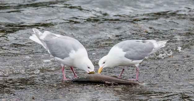 Две чайки стоят в воде и клюют семгу.