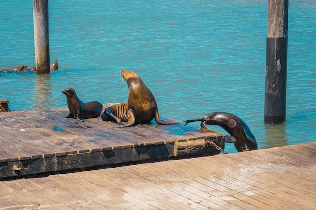Two seals on pier 39 pier and another jumping into the water, san francisco. united states