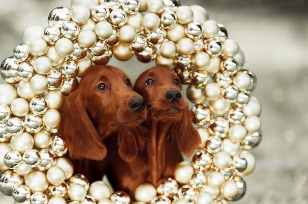 두 세터 강아지, 크리스마스, 가로 세로, 야외