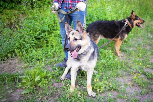 人間の足の近くに立っている2匹の羊犬、緑の草の中に灰色と茶色の犬。