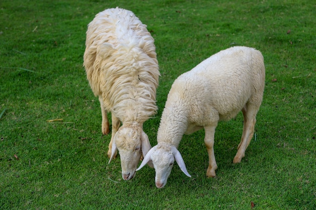 Two sheep eatting grass in emtry garden at thailand