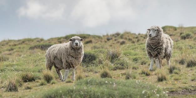 Two sheep grazing in a field, torres del paine national park, patagonia, chile