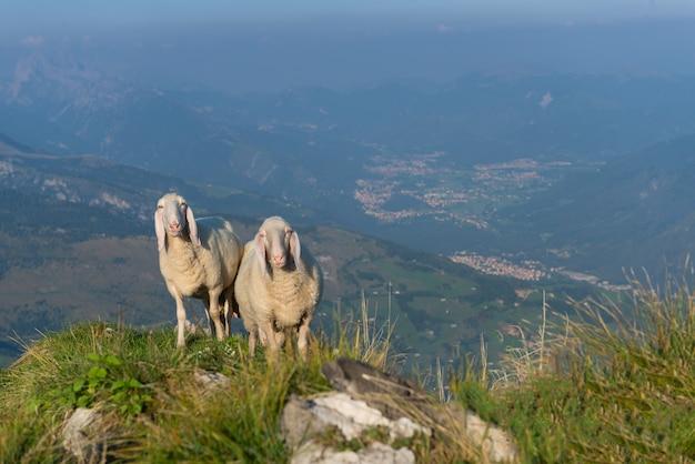 谷の上の山の2頭の羊