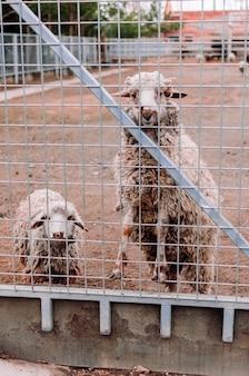 양 두 마리가 농장 울타리의 틀을 들여다보고 있습니다. 동물원에 있는 배고픈 포유류. 선택적 초점입니다.