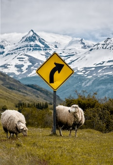 Two sheep near a yellow street sign with high snowy mountains
