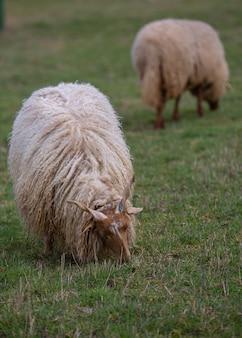 牧草地で放牧している角のある2頭の羊(ラツカ羊)