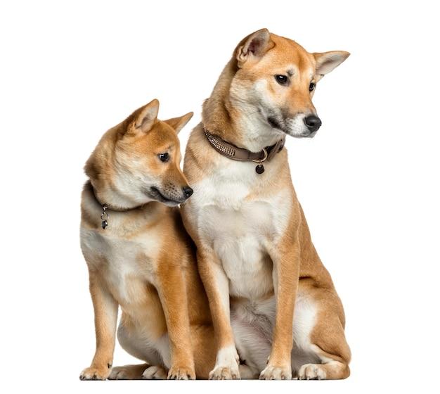 目をそらし、白で隔離された2匹の柴犬