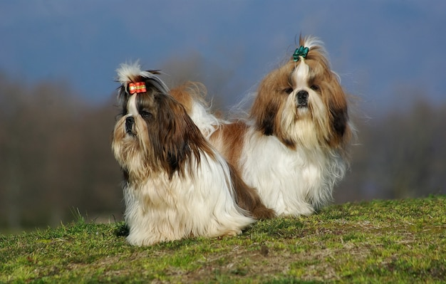 Two shih tzu dogs