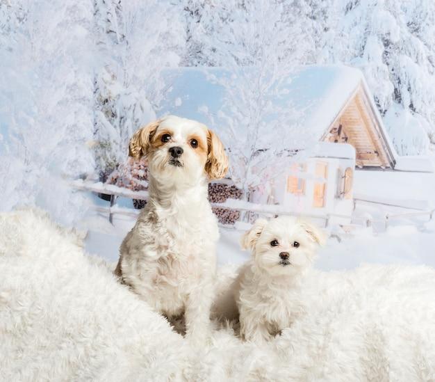 Two shih tzu's sitting on white rug against winter scene