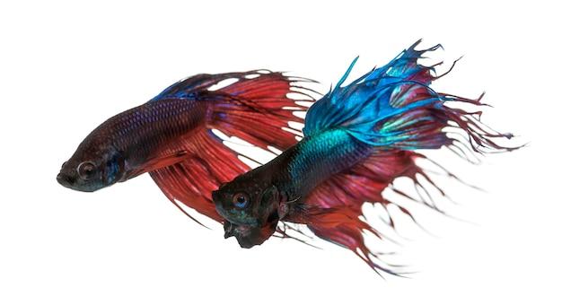 두 샴 싸우는 물고기, betta splendens, 흰색 절연
