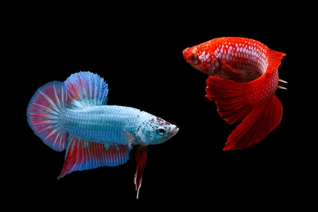 Two siamese fighting fishes isolated