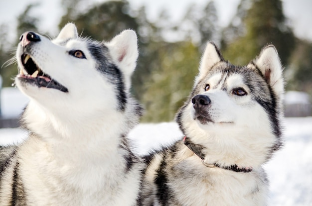 Two siberian husky dogs looks around. husky dogs has black and white coat color.