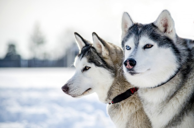 Two siberian husky dogs looks around. husky dogs has black and white coat color