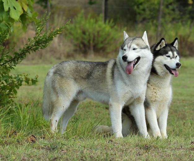 Two siberian husky dogs
