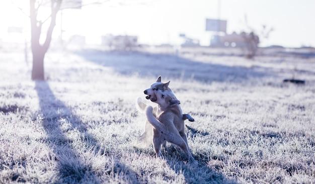 Два сибирских хаски играют на открытом воздухе в поле в холодное солнечное осеннее утро.