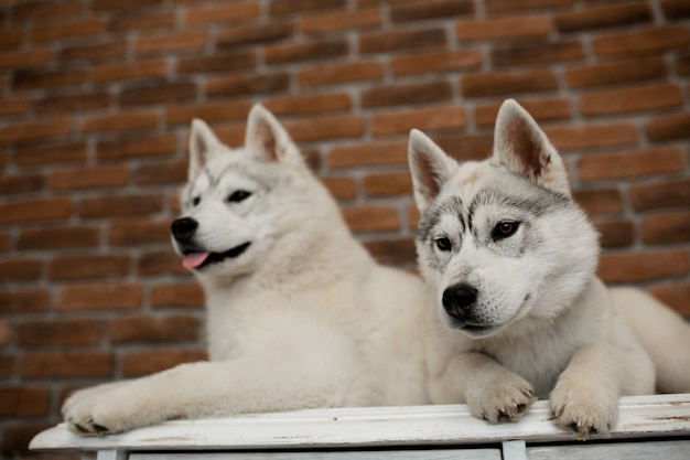 自宅で2つのシベリアンハスキー子犬が座って遊ぶ。犬のいる生活