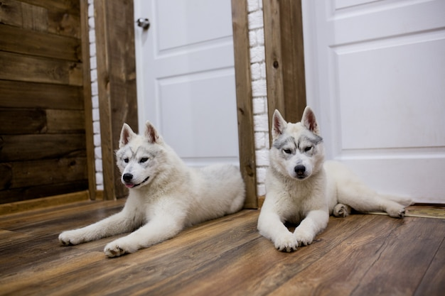 Два щенка сибирской хаски дома сидят и играют. образ жизни с собакой
