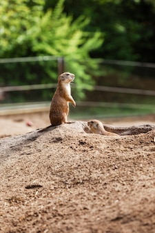 Two sitting natural marmots looking in opposite directions. little sousliks observing