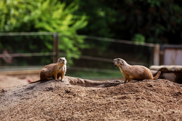 Two sitting natural marmots looking in opposite directions.