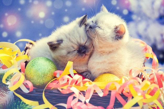 Two sleeping cute little kittens with christmas decoration