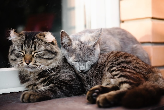 Two sleepy cats leaning on each other as friends cats friendship