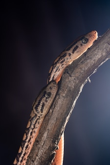 Two small boas crawling on a tree branch on a black surface