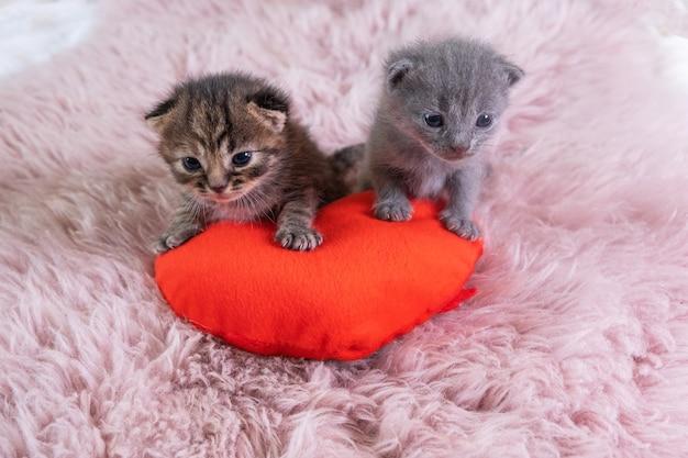 심장 모양의 빨간 베개에 서 있는 두 개의 작은 영국 쇼트헤어 고양이