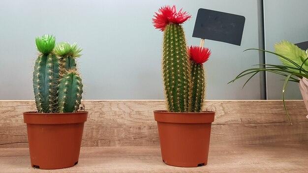꽃이 게 선반에 갈색 냄비에 두 개의 작은 선인장. 바늘이 있는 녹색 가시가 있는 식물.