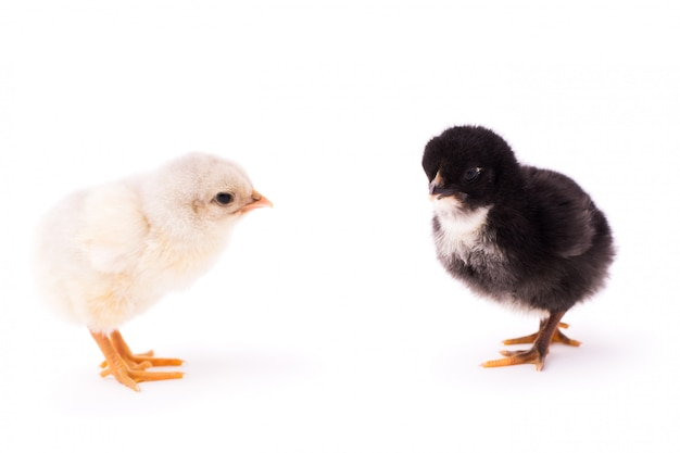 Two small chickens isolated . white and black small chickens look at each other.
