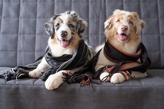 縞模様のスカーフを身に着けている2匹の小さなかわいいオーストラリアンシェパードの赤いメルル子犬犬。冬、秋の居心地の良いムード。ソファのソファに横になっています。
