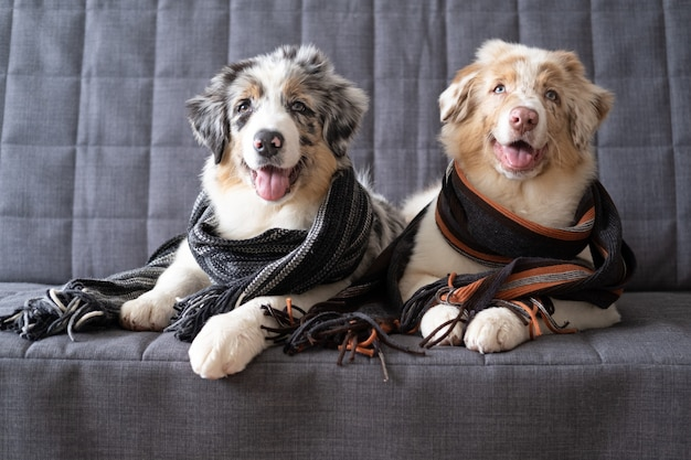Two small cute australian shepherd red merle puppy dog wearing striped scarf. winter, autumn cozy mood. lying on sofa couch.