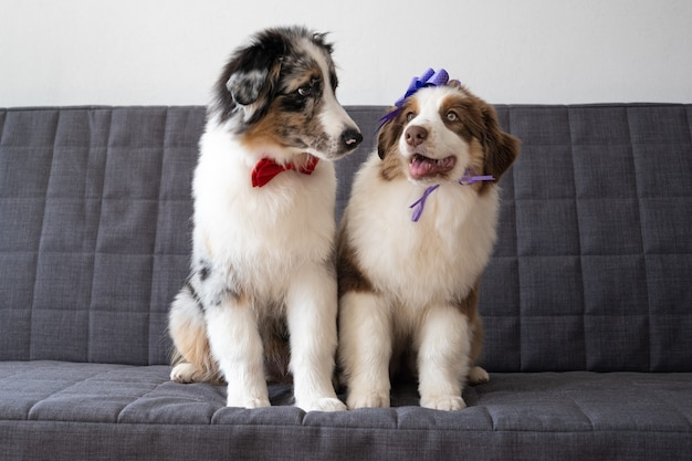 두 개의 작은 귀여운 호주 셰퍼드 빨간색 3 색 강아지 나비 넥타이. 머리에 리본 활. 발렌타인 데이. 소파에.