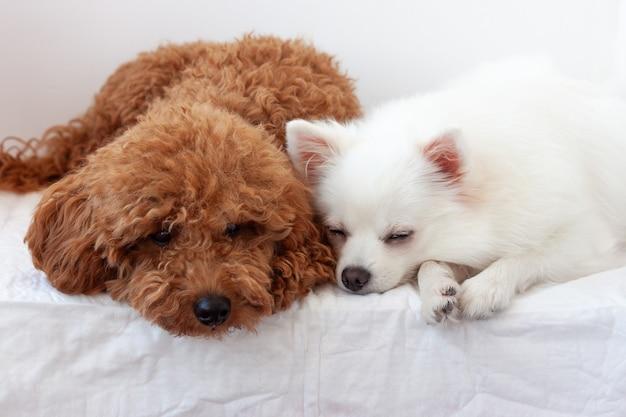Две маленькие собачки белый померанский шпиц и красно-коричневый миниатюрный пудель спят рядом друг с другом.