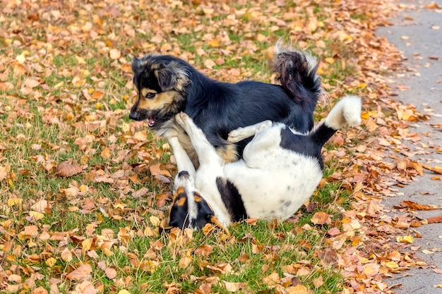 Two small dogs play in the garden on the grass covered with autumn leaves