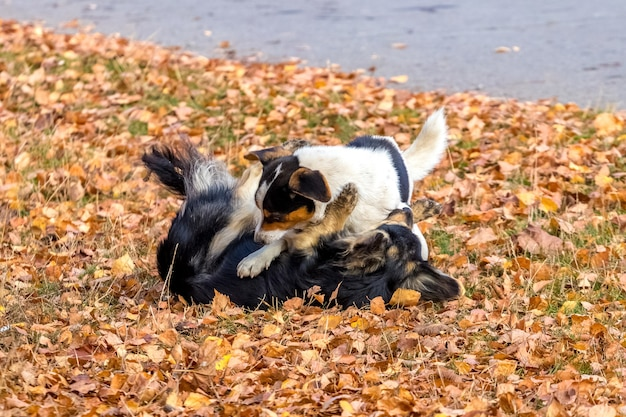 Two small dogs playing in the garden on autumn leaves