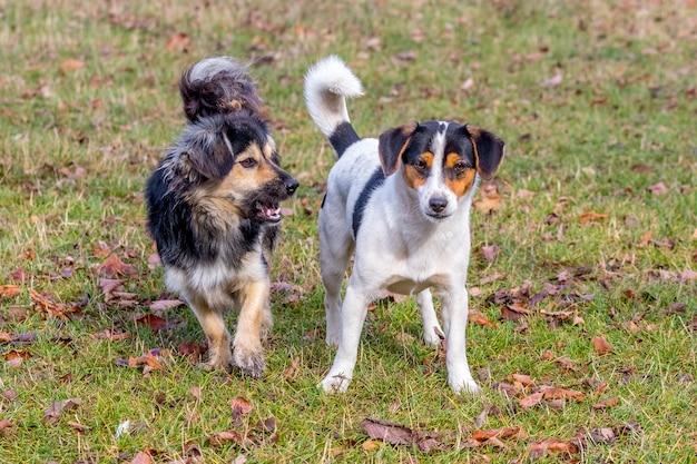 秋の庭を歩きながら2匹の小型犬。