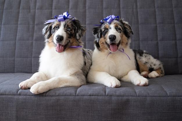 Two small funny cute australian shepherd blue merle puppy dog ribbon bow on head. happy birthday