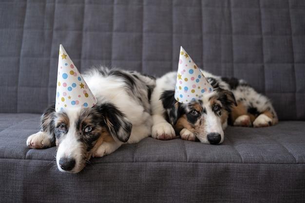 パーティーハットをかぶった2匹の小さな面白いかわいいオーストラリアンシェパードブルーメルル子犬犬。異なる色の目。 3色。悲しい。お誕生日。