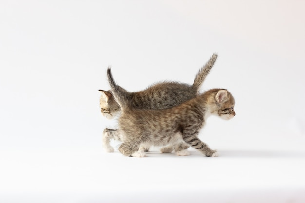 白い背景で孤立して遊んでいる2匹の小さな子猫