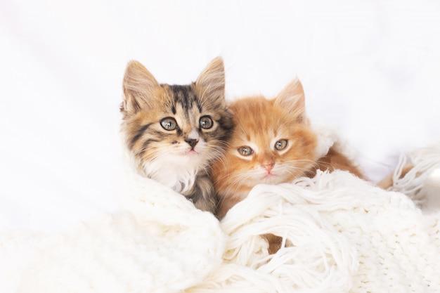 白いニットスカーフに2つの小さな子猫。 2匹の猫が寄り添ってハグします。家畜。