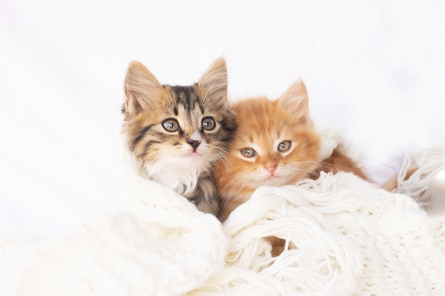 Two small kittens on white knitted scarf. two cats cuddling and hugging. domestic animal.