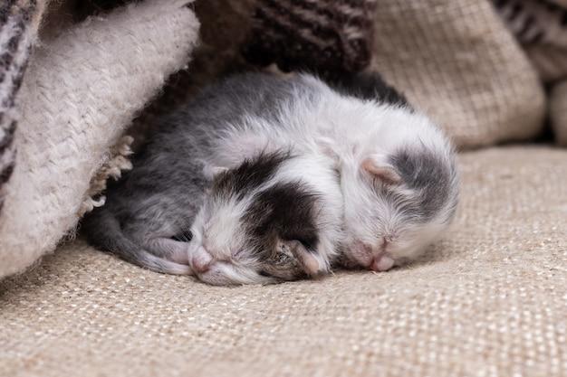 2匹の小さな生まれたばかりの子猫が毛布の下で眠ります