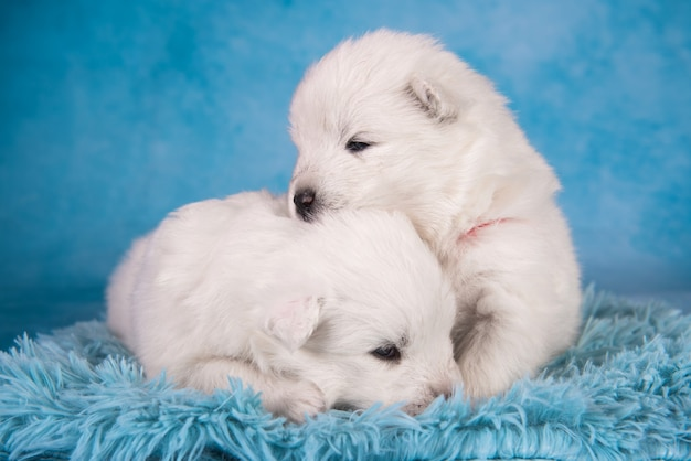 Two small one month old cute white samoyed puppies dogs on blue background