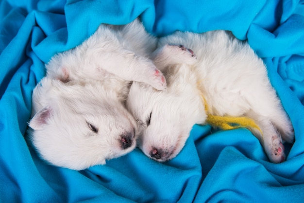 青い背景の上の2つの小さな生後1ヶ月のかわいい白いサモエド子犬犬