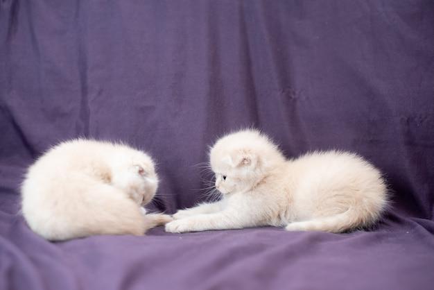2つの小さなスコティッシュフォールド猫の赤ちゃんのミルクの色が遊んでいます